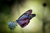 orange and black butterfly perched on white flower in close up photography during daytime