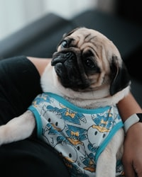 fawn pug wearing blue and white tank top