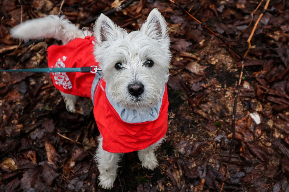 white long coated small dog wearing red shirt