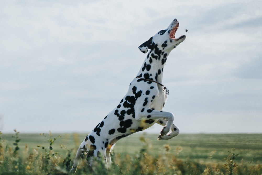 black and white dalmatian dog on green grass field