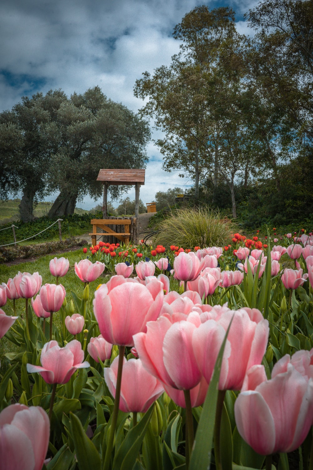 pink tulips near brown wooden bench under blue sky during daytime