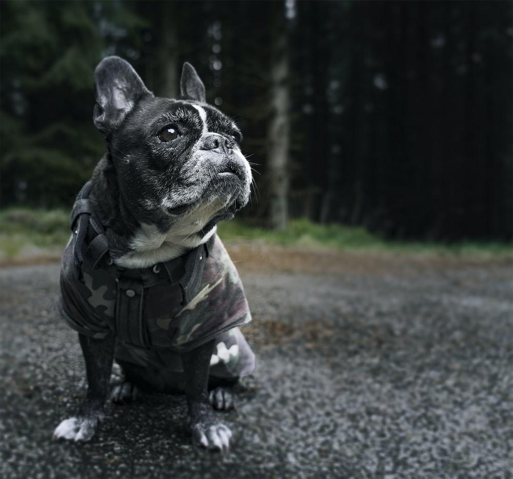 black and white french bulldog wearing camouflage jacket