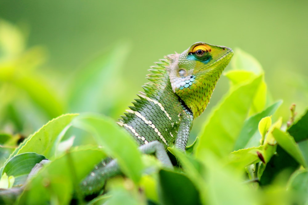 green and blue lizard on green leaf