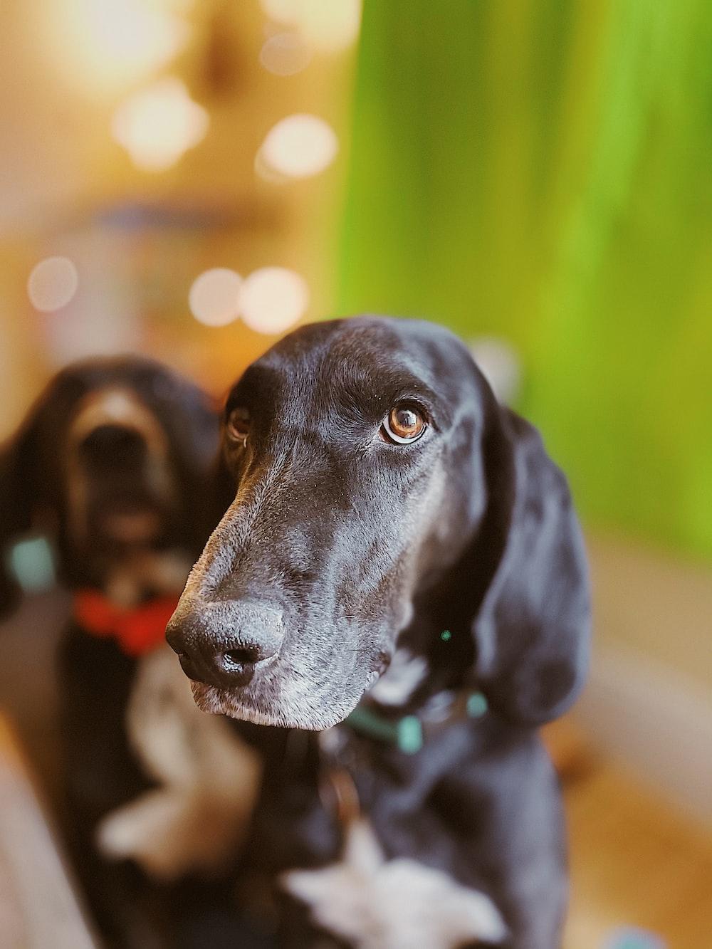 black labrador retriever puppy on focus photo