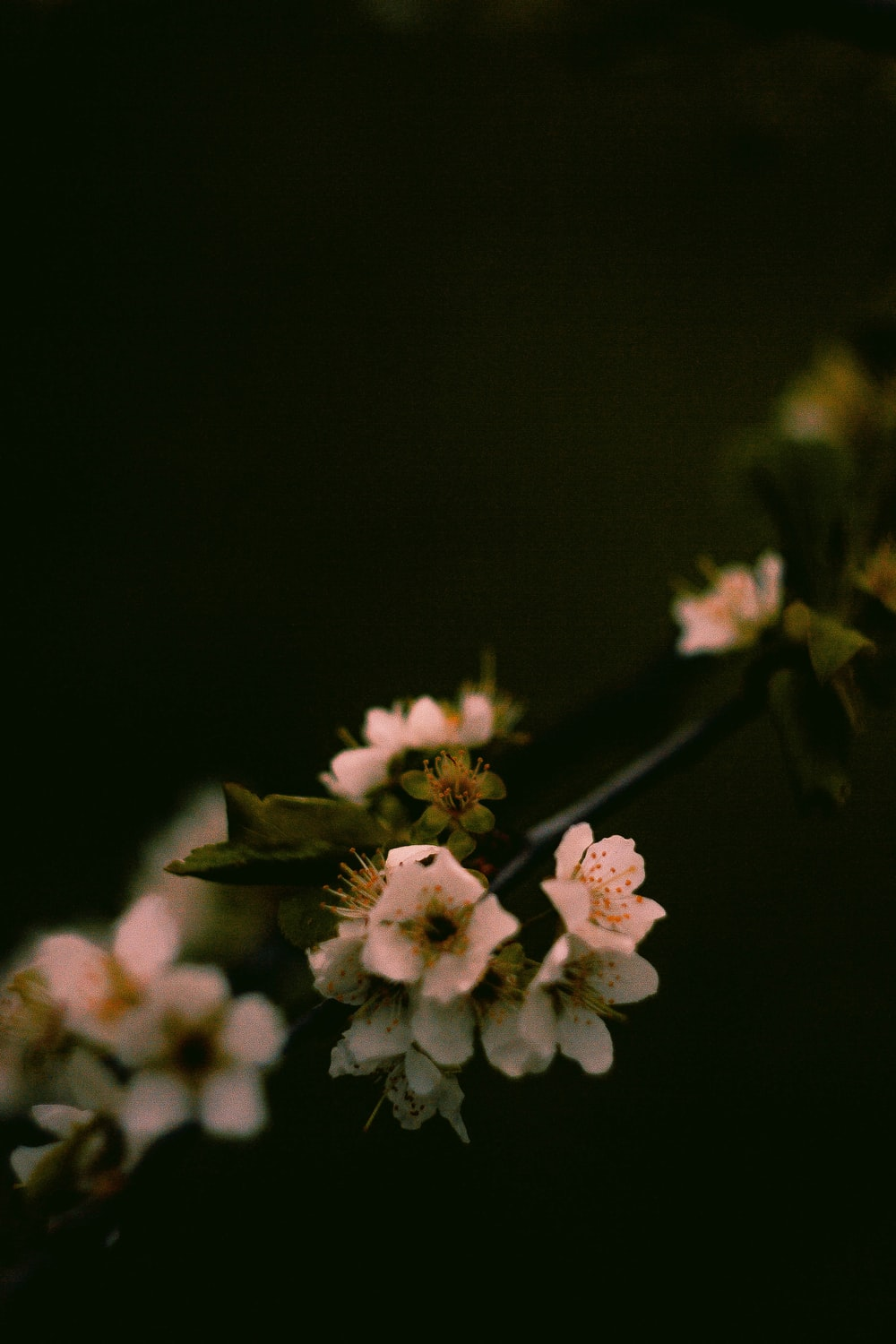 white and pink cherry blossom in bloom