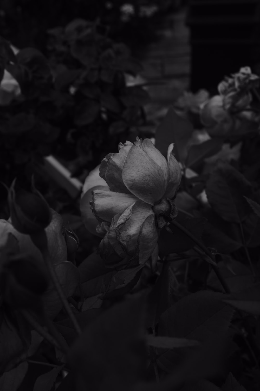 greyscale photo of rose flower