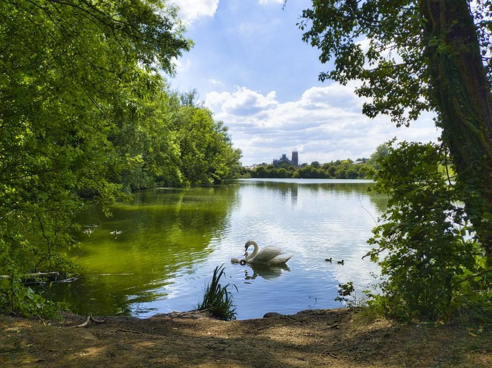 white duck on lake during daytime