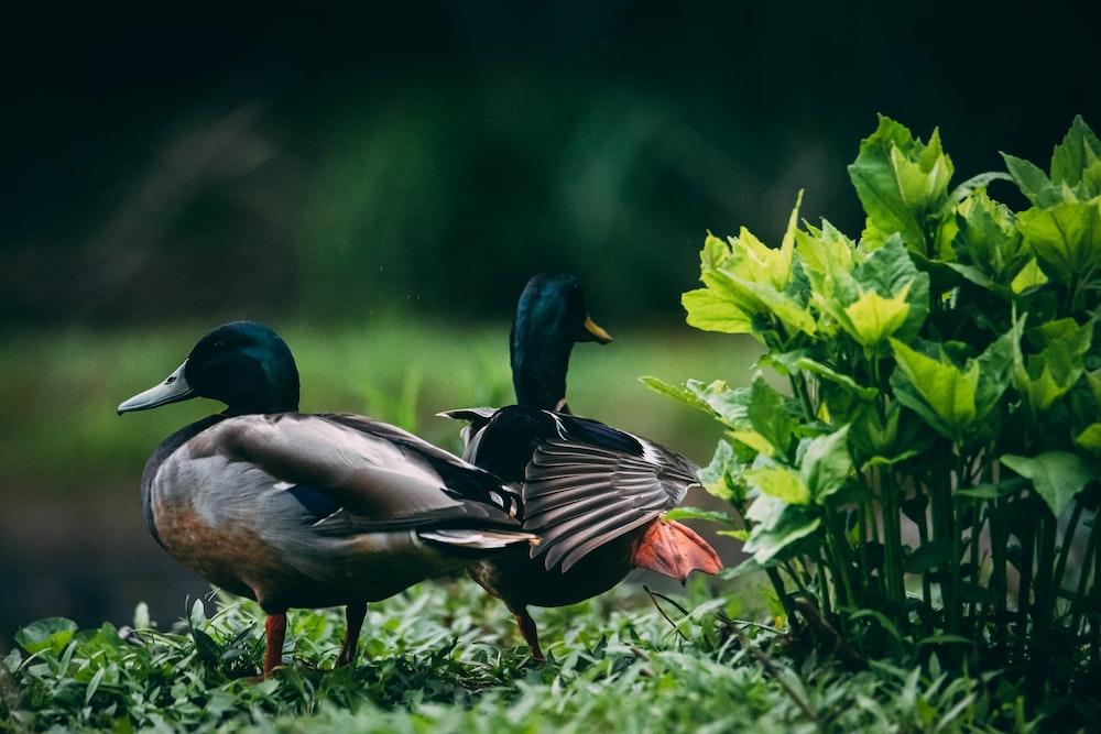 three mallard ducks on green grass during daytime