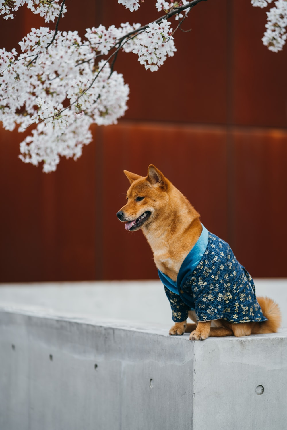 brown short coated dog wearing blue and white floral dress sitting on gray concrete surface