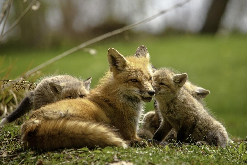 orange fox lying on green grass during daytime