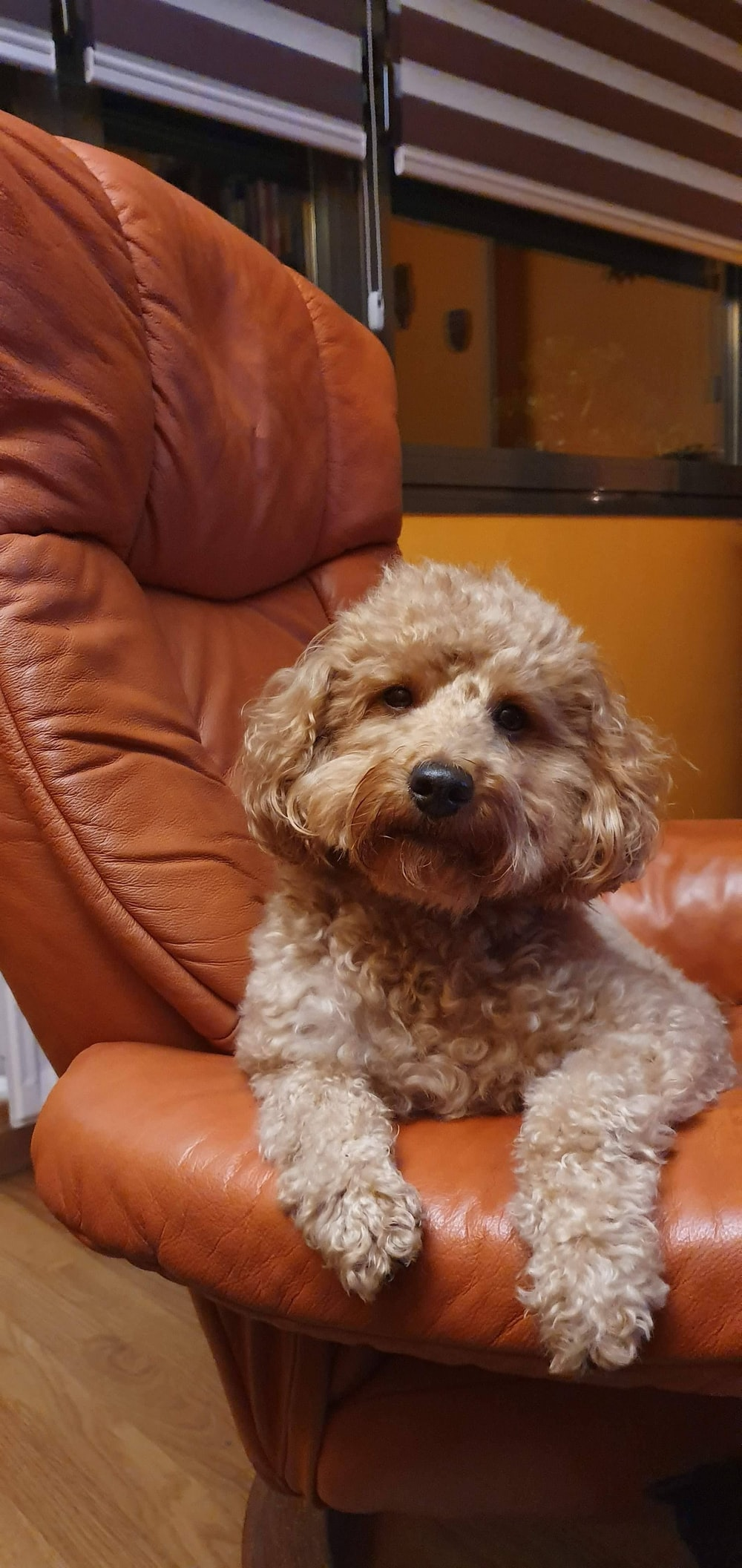 brown curly coated small dog on orange leather sofa