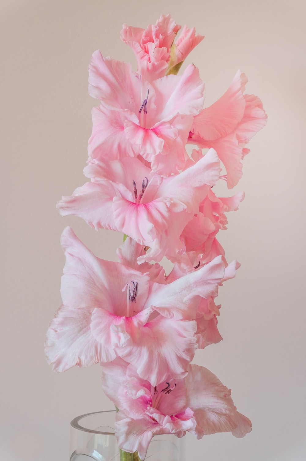 pink hibiscus in bloom close up photo