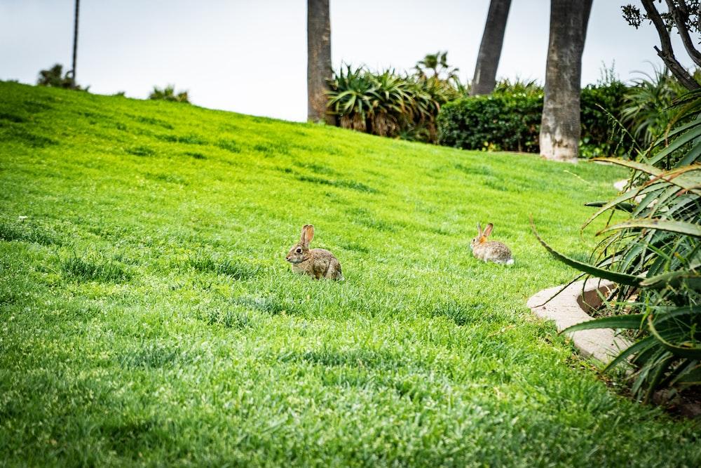 brown rabbit on green grass field during daytime