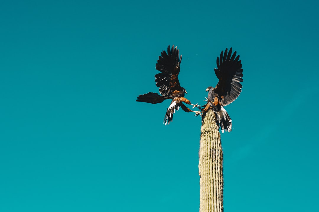 Arizona Desert Hawks Fighting On Top of A Cactus. Hell Yeah. - unsplash