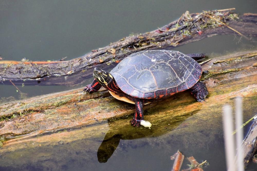 black and brown turtle on brown wood log