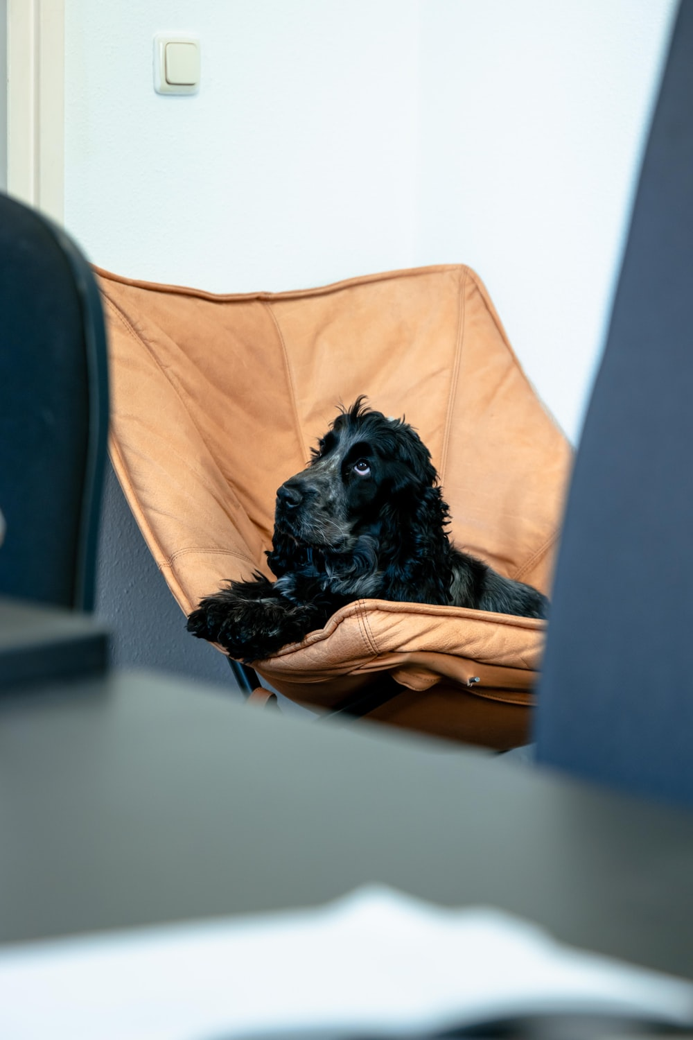black long coated dog on brown leather padded chair