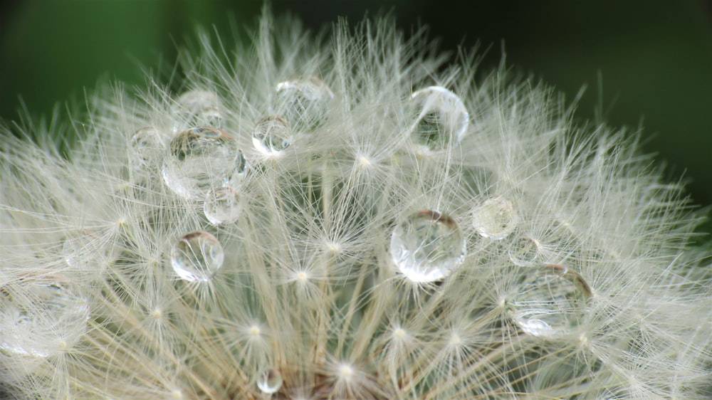 water droplets on white dandelion