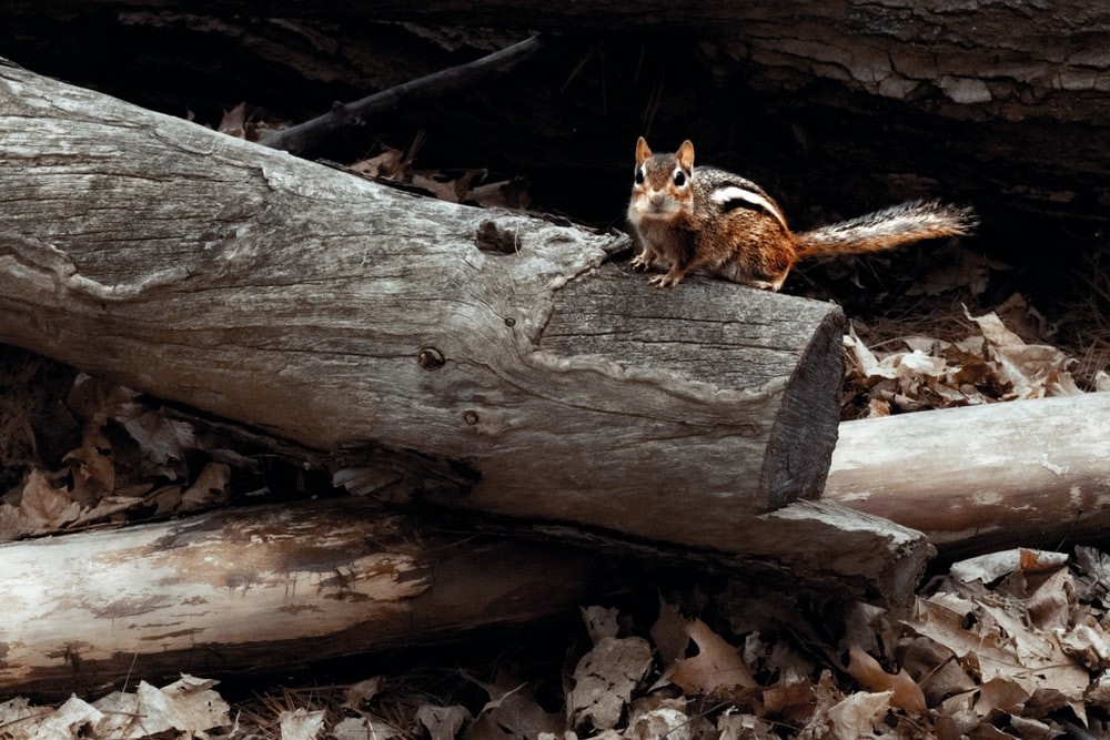 brown and white fox on brown tree log