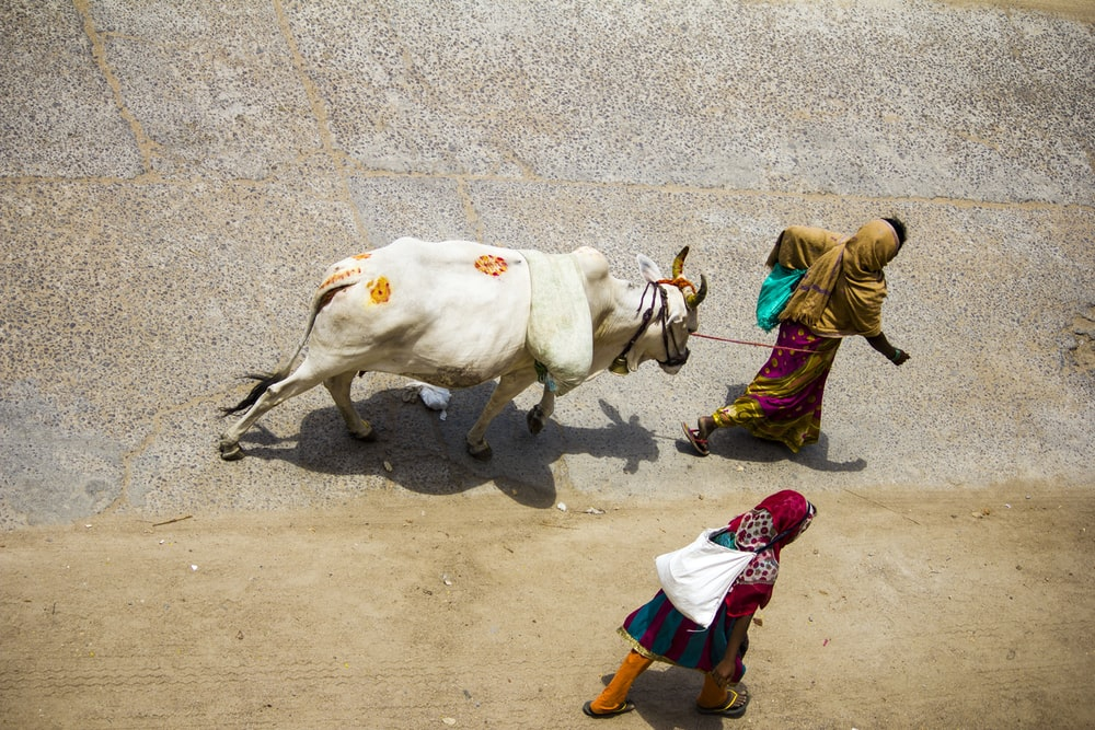 people walking on sand with white cow during daytime