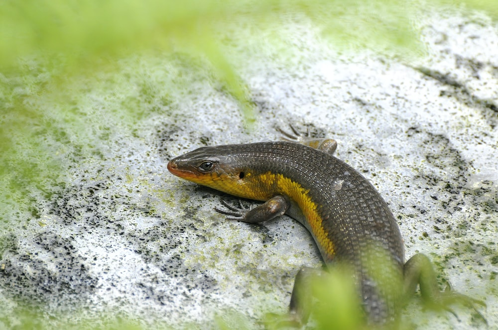 black and yellow lizard on white rock