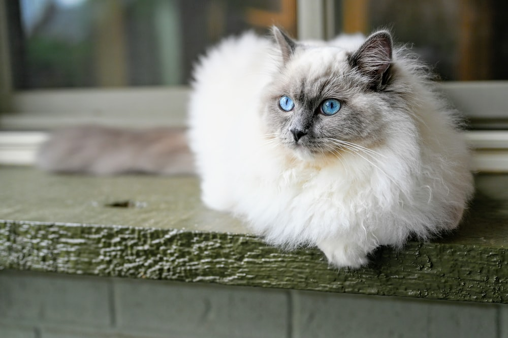 white and gray long fur cat on green wooden surface