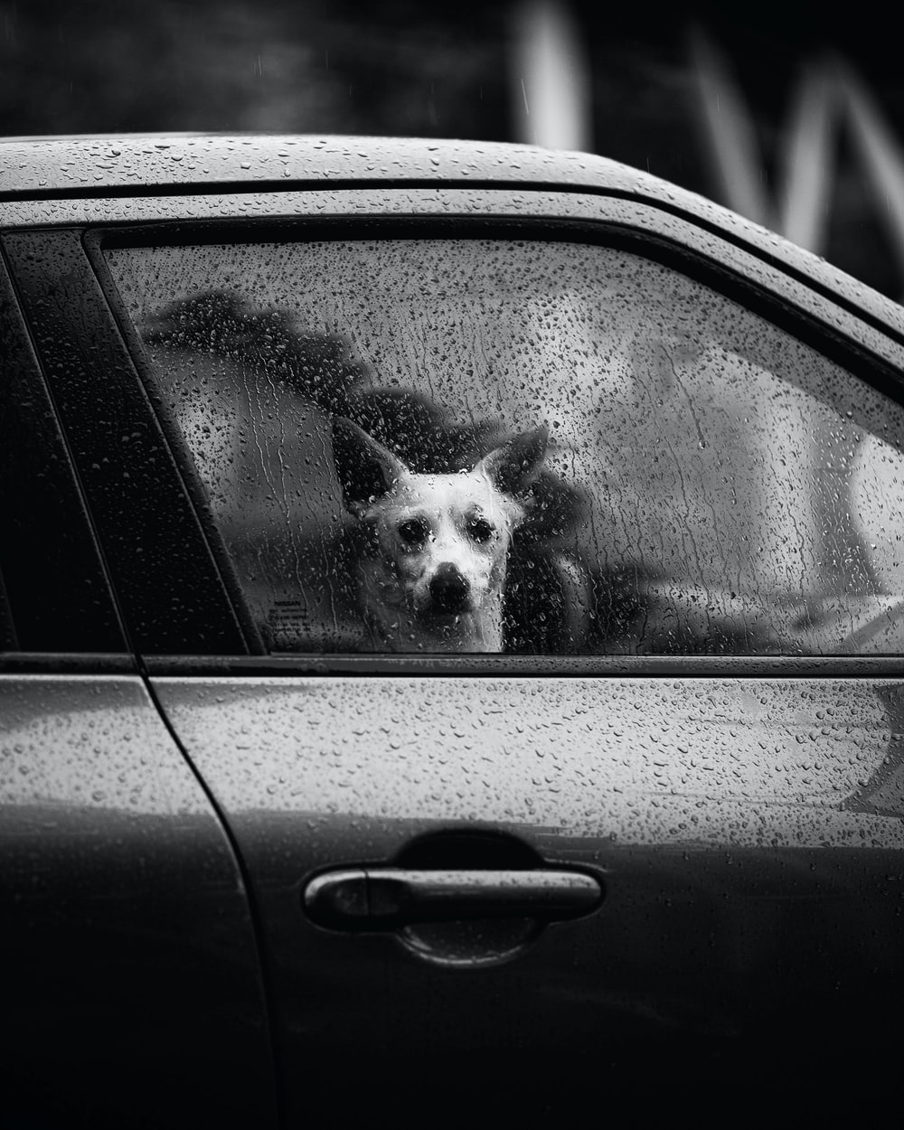 grayscale photo of dog inside car