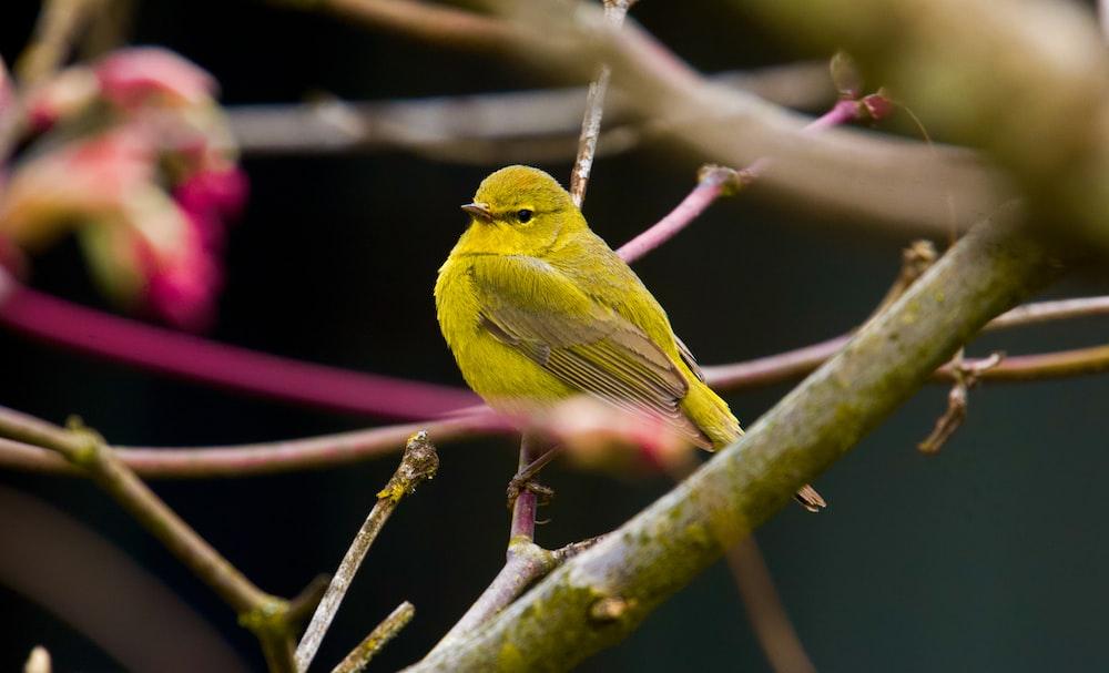 yellow bird on brown tree branch