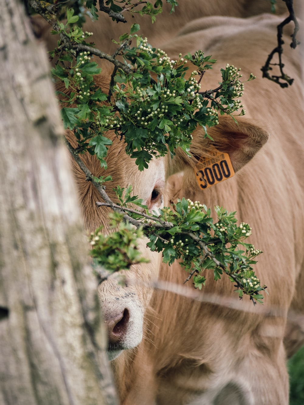 brown cow eating green leaves