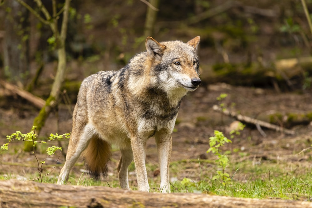 brown wolf walking on green grass during daytime