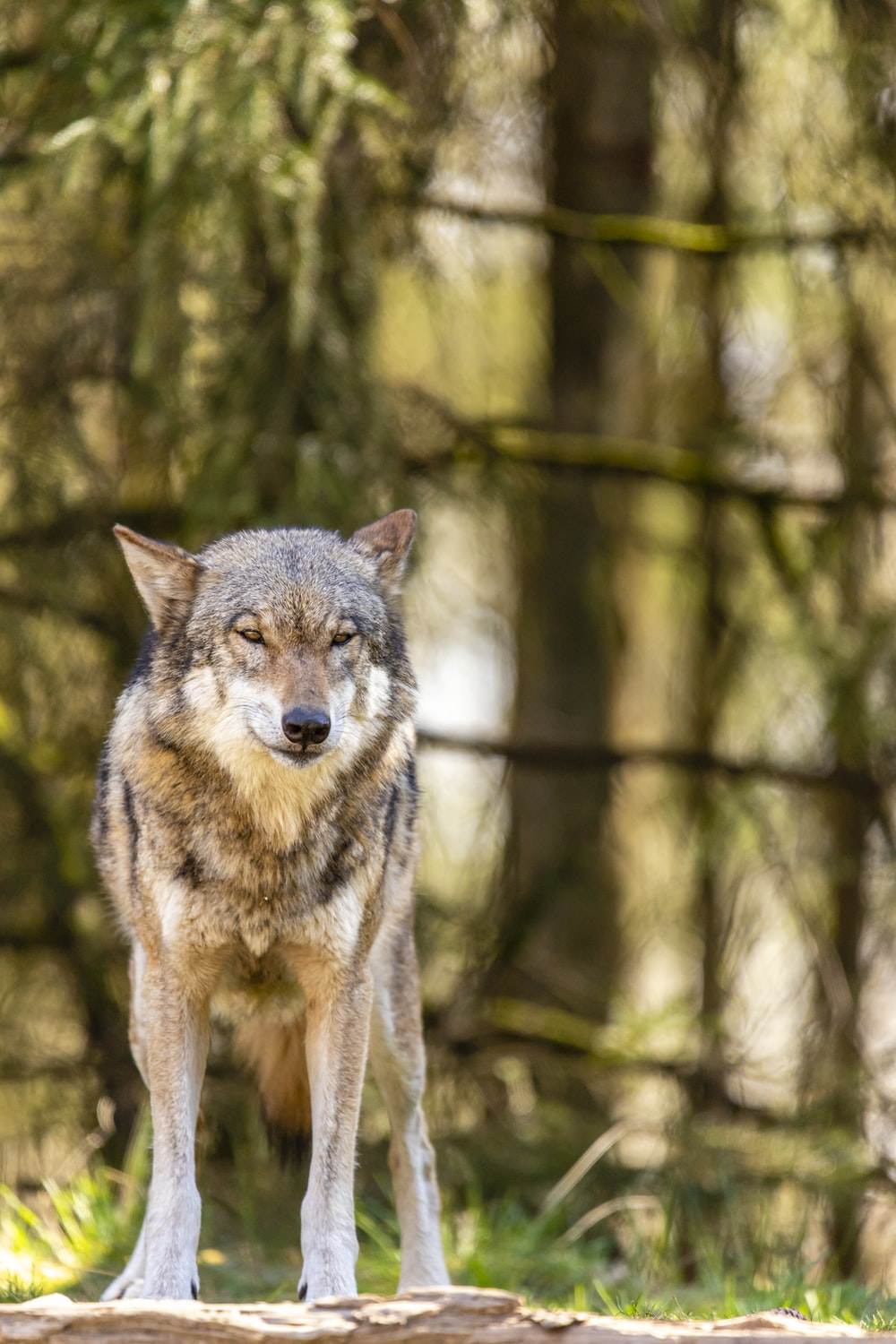 brown and black wolf on forest during daytime