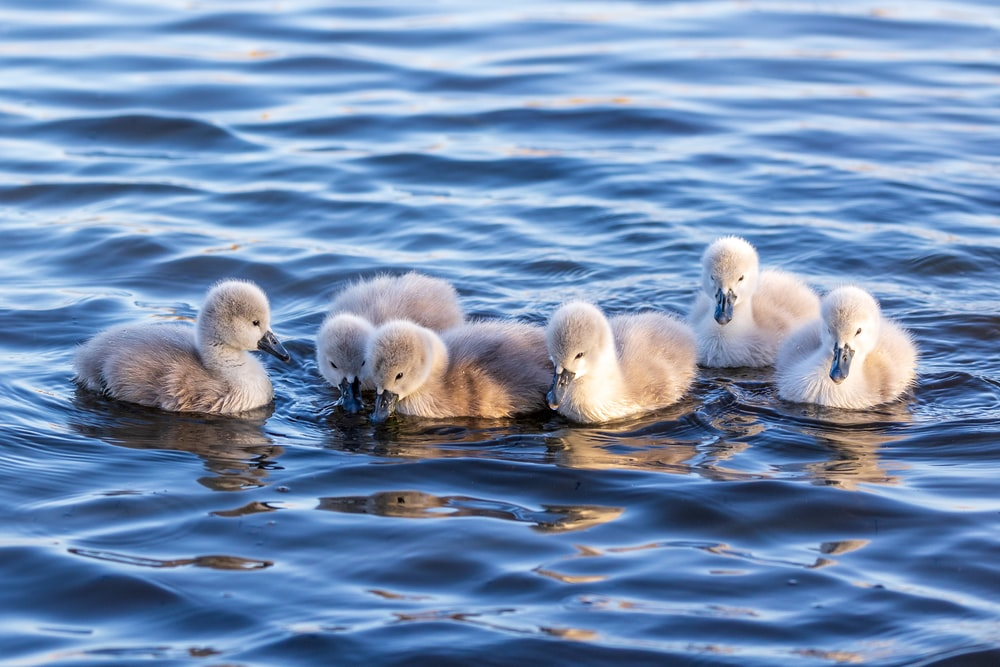 white ducklings on water during daytime