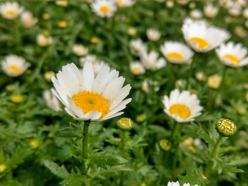 white daisy flowers in bloom during daytime