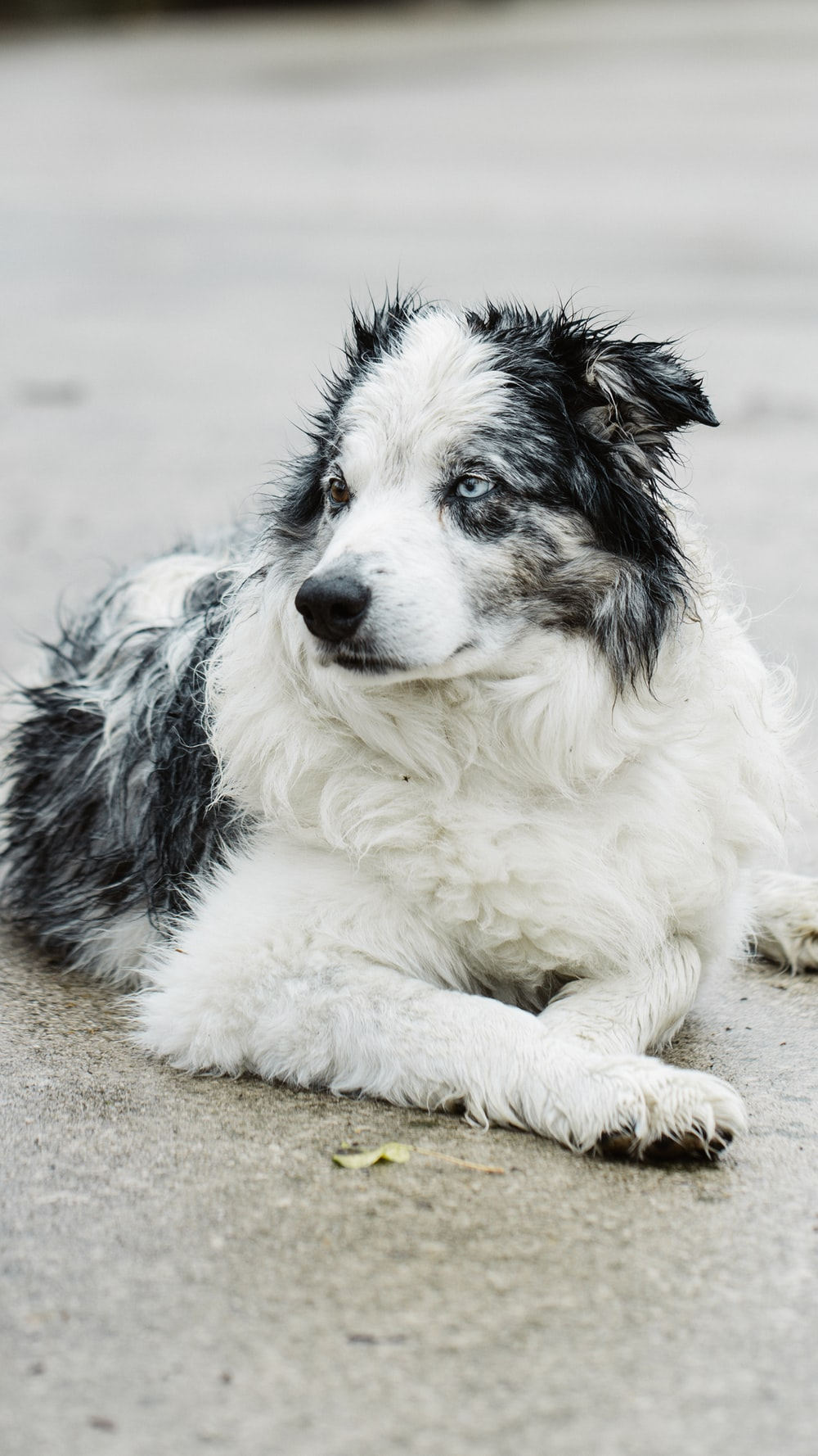 white and black border collie mix puppy lying on the ground