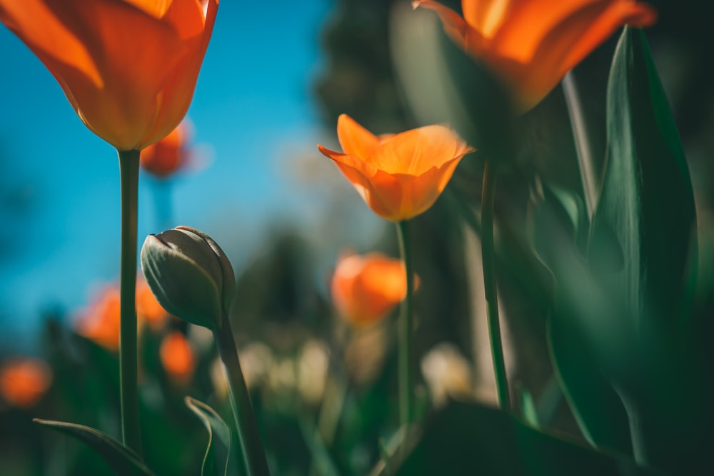 orange tulips in bloom during daytime