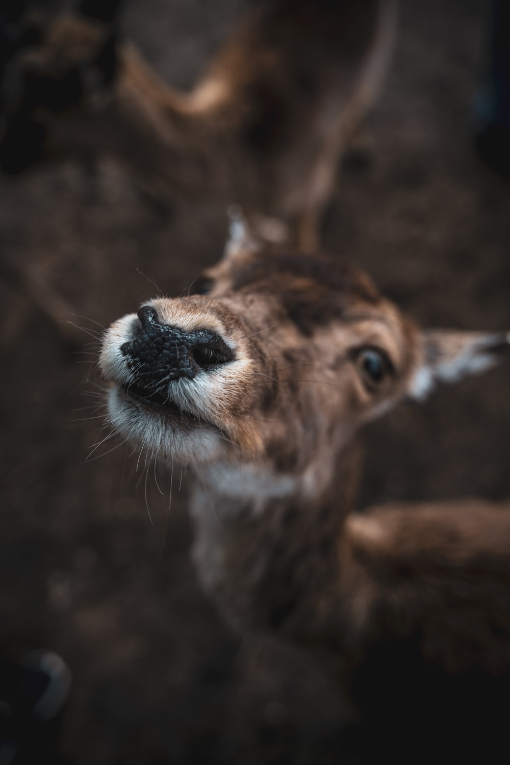 brown and white deer in close up photography