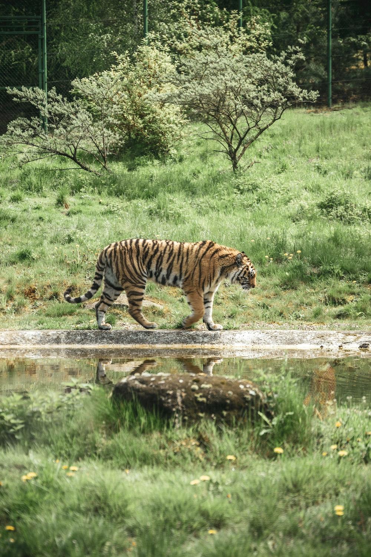 tiger walking on river during daytime