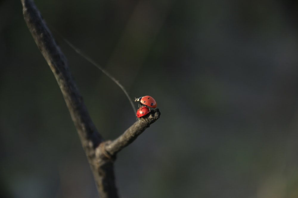 red ladybug perched on brown tree branch in tilt shift lens
