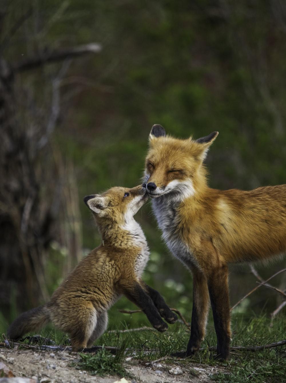 brown fox in tilt shift lens