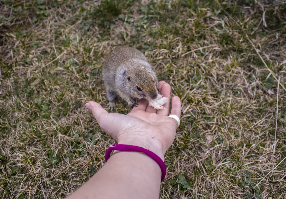 person holding brown and gray rodent