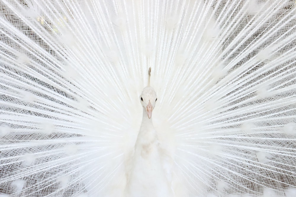 white peacock feather in close up photography