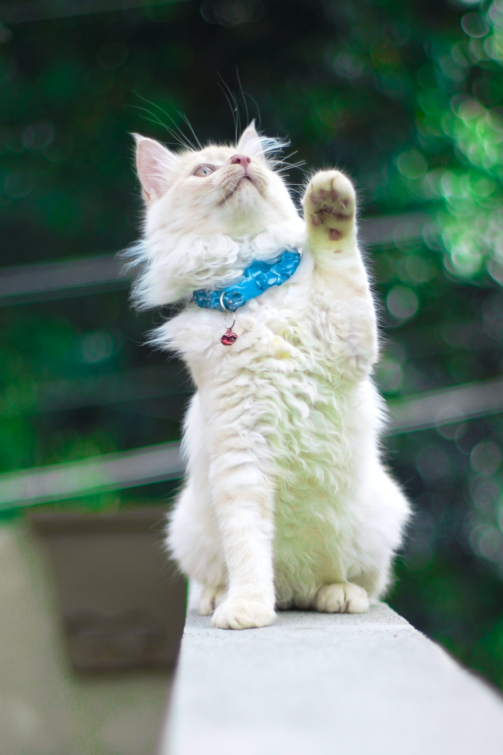 white cat with blue collar