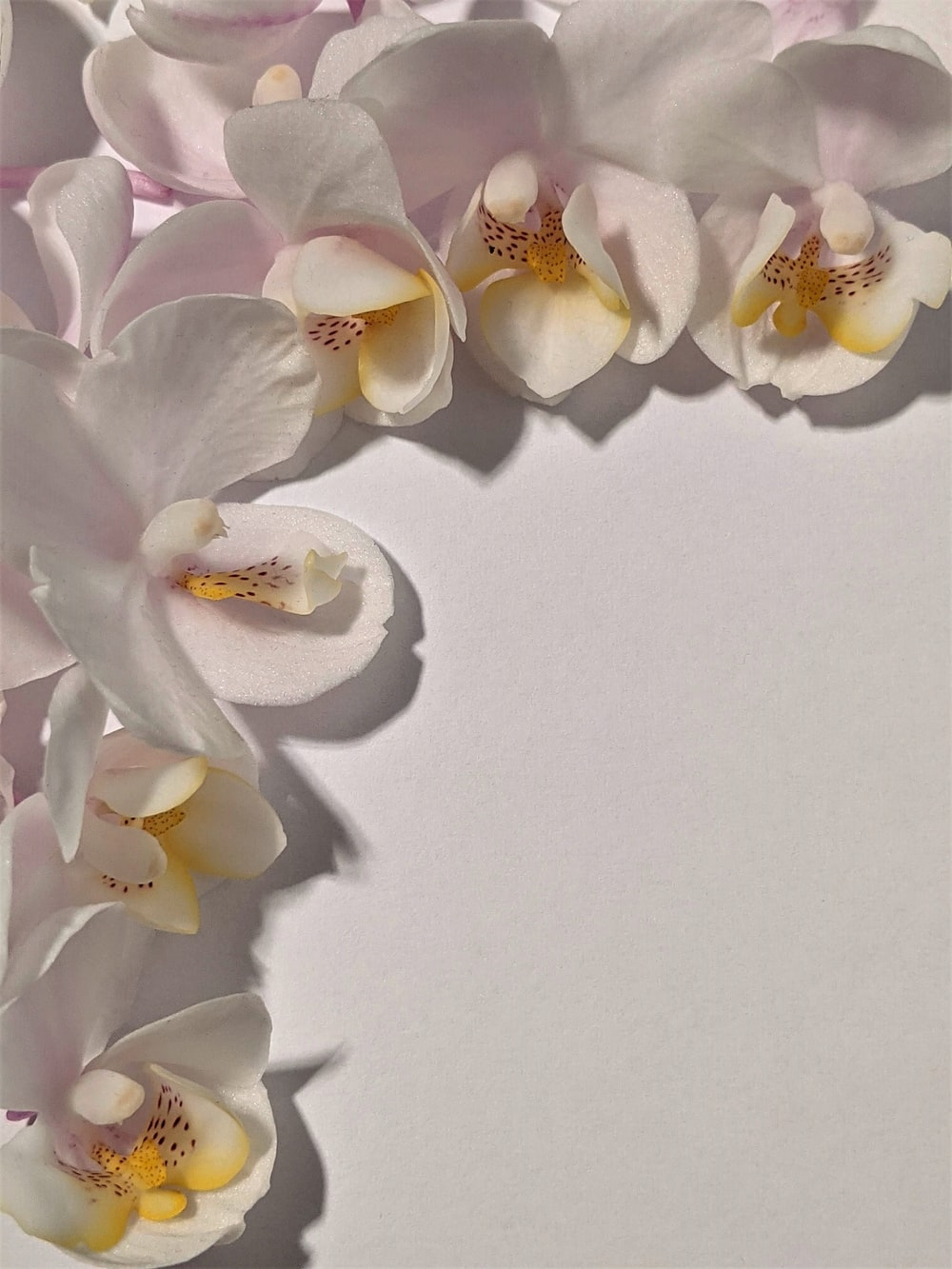 white moth orchids on white surface
