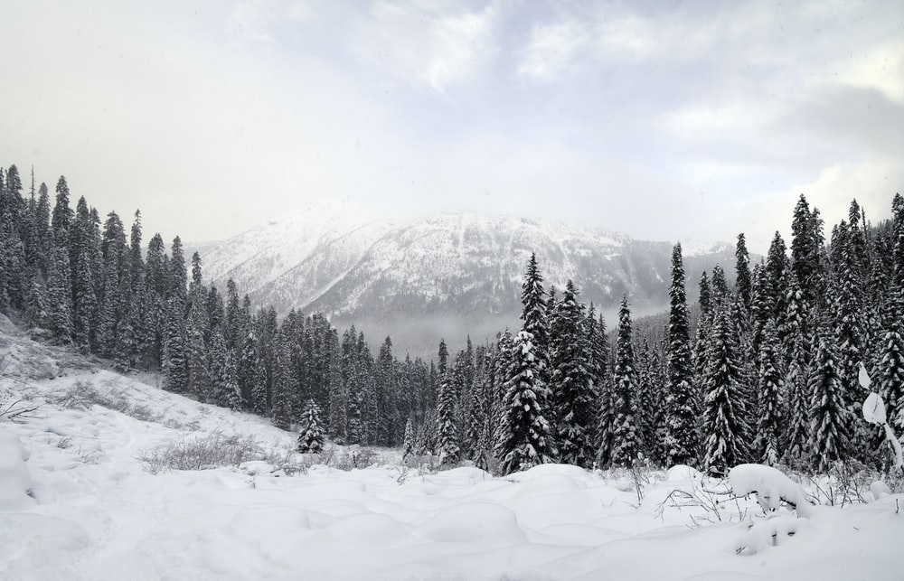 snow covered pine trees and mountains