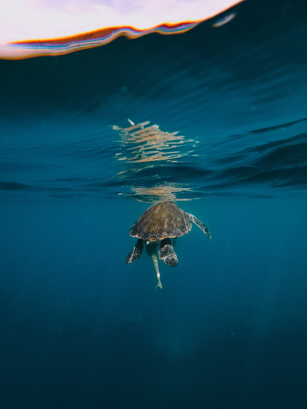 brown turtle in blue water