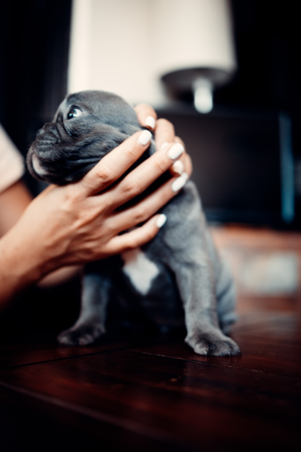 person holding black pug puppy
