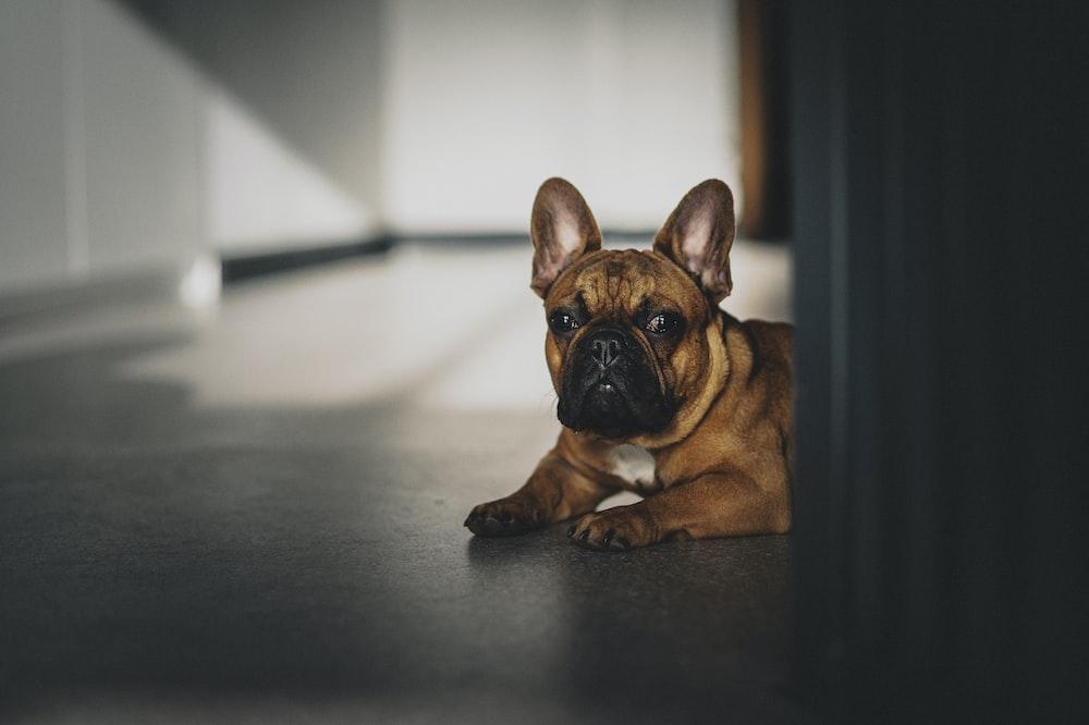 brown french bulldog puppy on floor