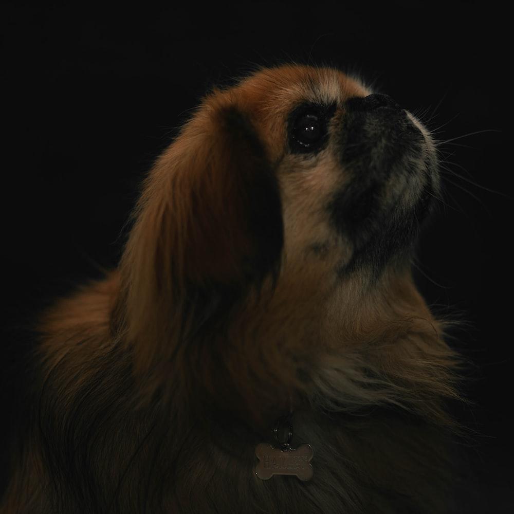 black and tan long coat small dog
