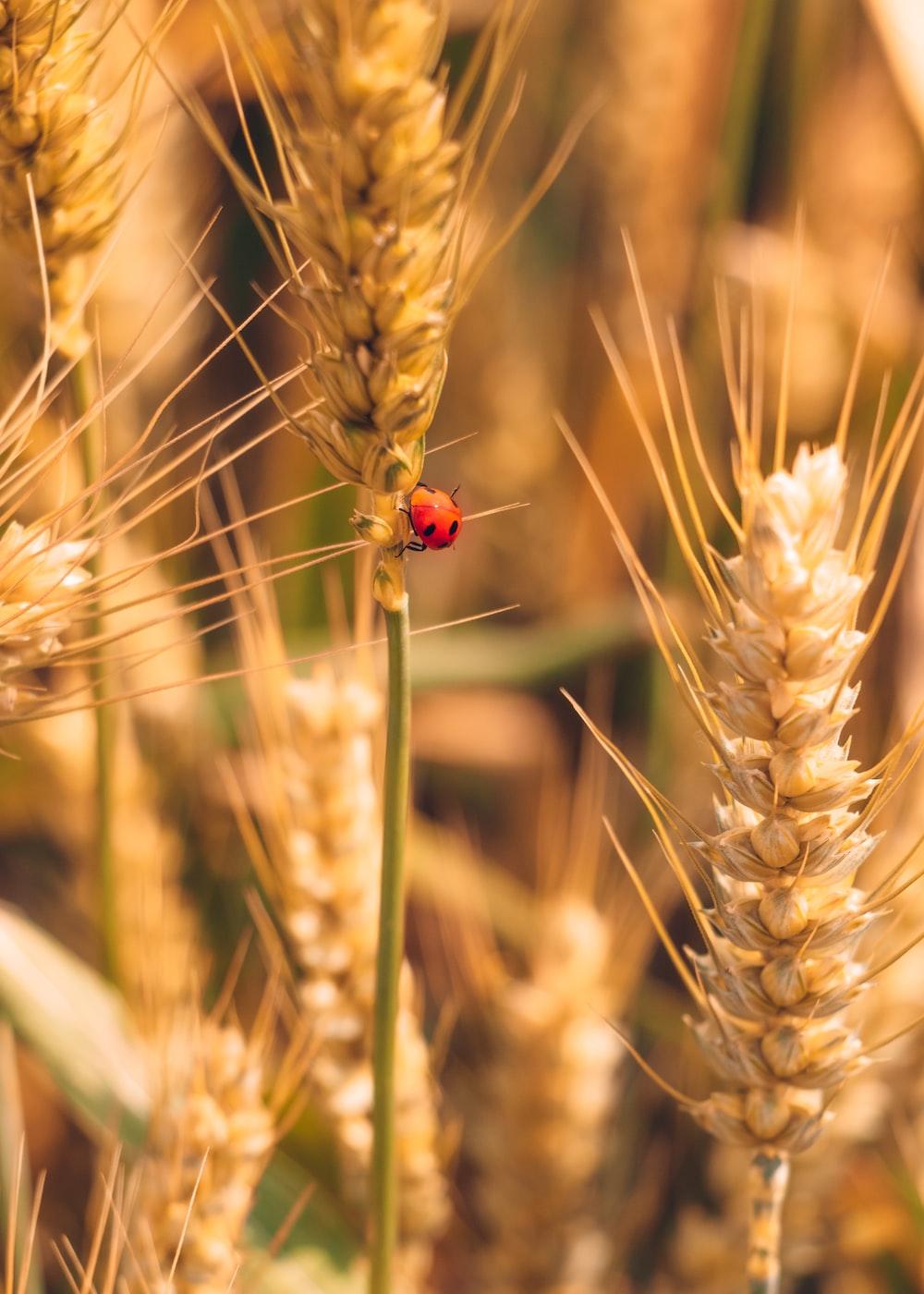 red ladybug on brown wheat during daytime