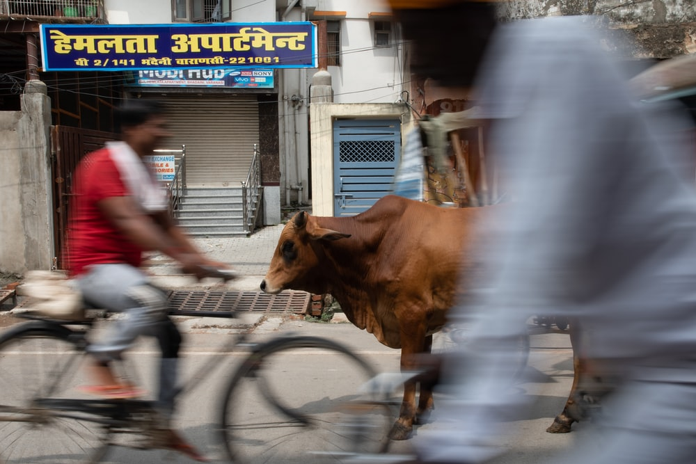man in red shirt riding bicycle with brown cow