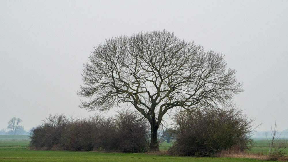 leafless tree on green grass field